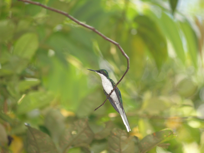 black-eared fairy-Heliothryx auritus