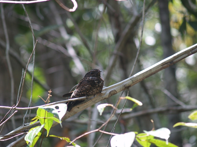 blackish nightjar-Caprimulgus nigrescens