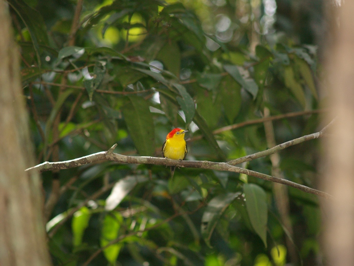wire-tailed manakin-Pipra filicauda- male